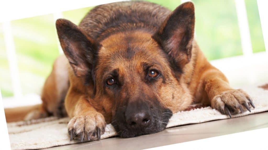 Cómo saber si tu perro tiene estrés